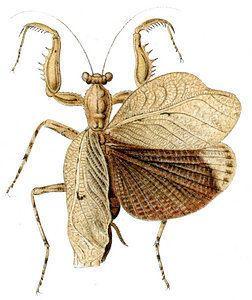Liturgusidae tolweborgtreeToLimagesTheopompellapallida130