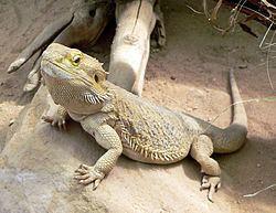 Lizard httpsuploadwikimediaorgwikipediacommonsthu