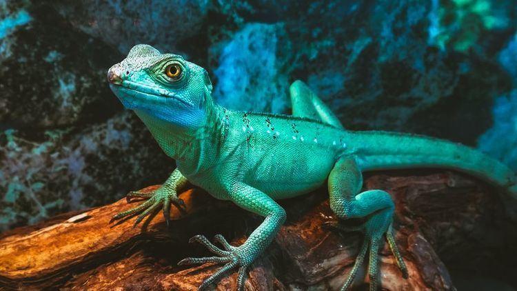 Lizard Green Basilisk Lizards Green Basilisk Lizard Pictures Green