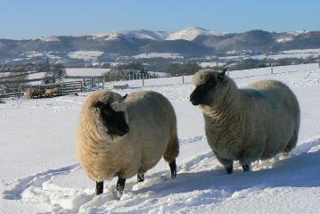 Llanwenog (sheep) Llanwenog Sheep Society Home