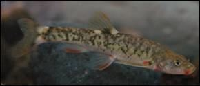 Loach minnow Spikedace and Loach Minnow Conservation