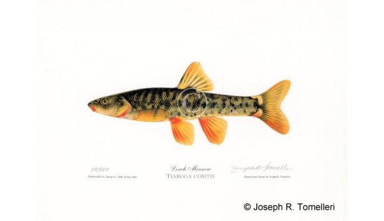 Loach minnow Loach Minnow American Fishes