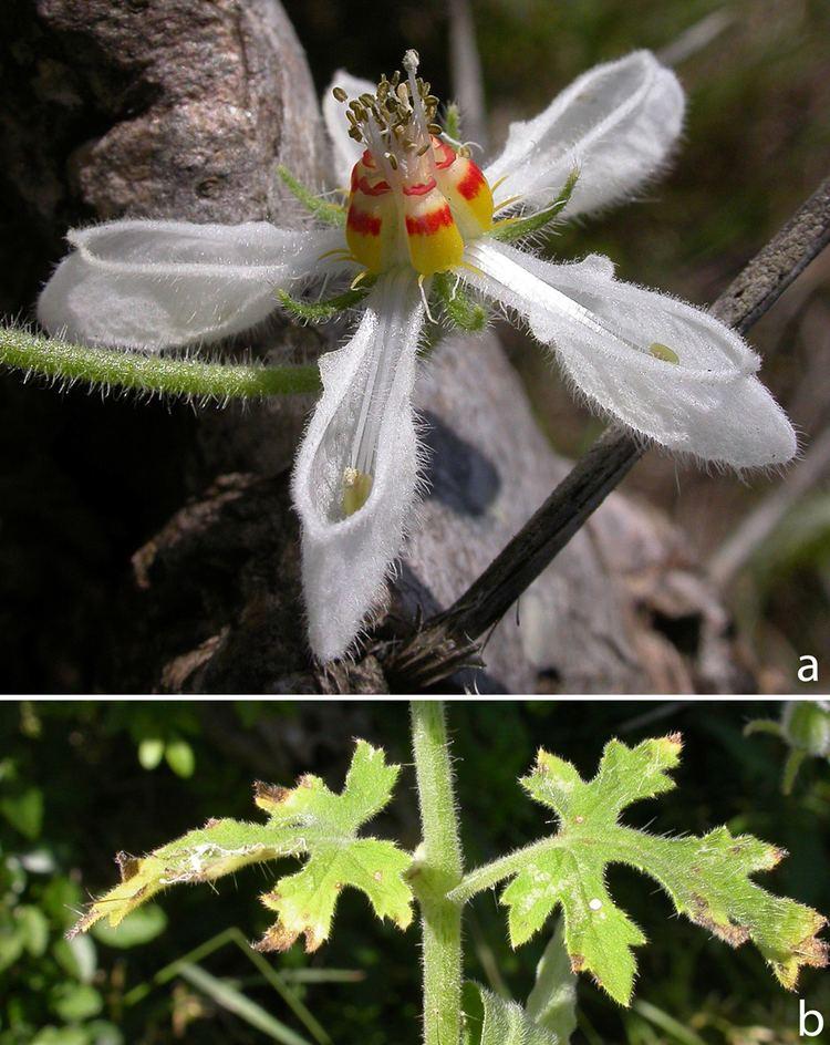 Loasaceae Laboratorio de Sistemtica de Plantas Vasculares Curso SPV
