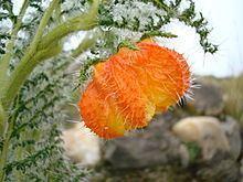 Loasaceae httpsuploadwikimediaorgwikipediacommonsthu