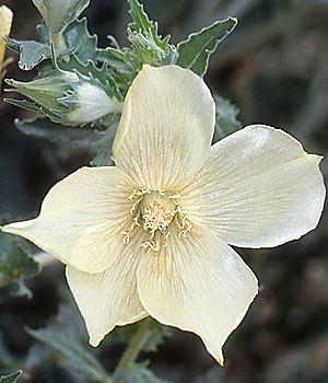 Loasaceae Loasaceae plant family Britannicacom