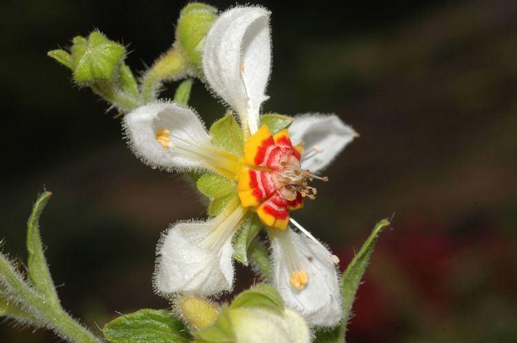 Loasaceae Loasa tricolor Loasaceae image 29230 at PlantSystematicsorg