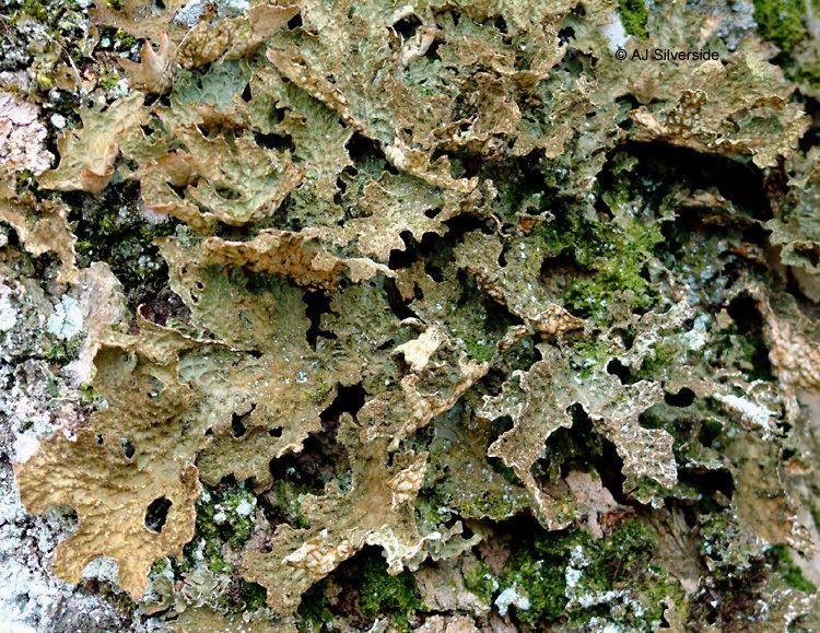 Lobaria pulmonaria Lobaria pulmonaria images of British lichens