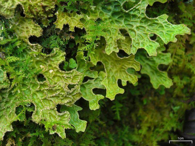 Lobaria pulmonaria Lobaria pulmonaria Lung lichen Discover Life mobile