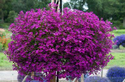 Lobelia RHS advice amp tips on garden amp indoor plants Plant finder