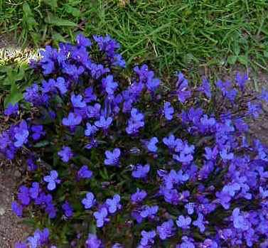 Lobelia Explore Cornell Home Gardening Flower Growing Guides Growing Guide