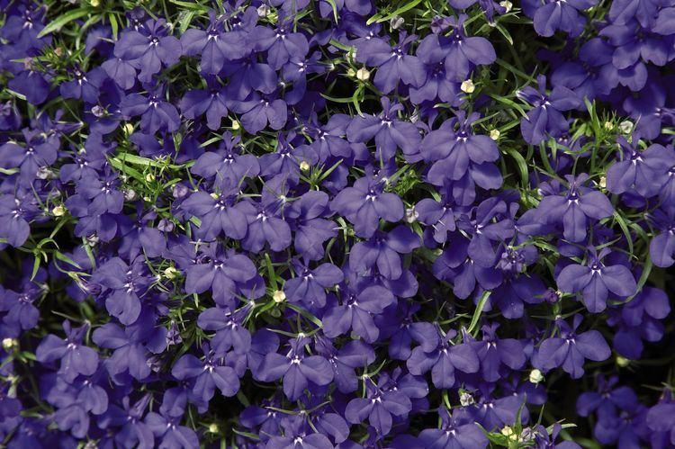 Lobelia erinus Lobelia erinus Blue Palace Annual Benary