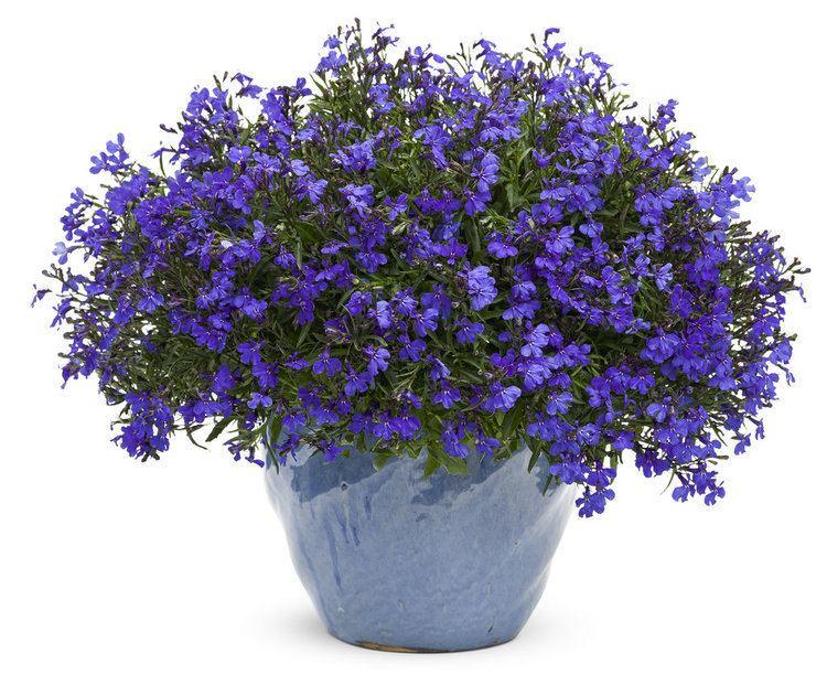 Lobelia erinus Lucia Dark Blue Lobelia erinus Proven Winners