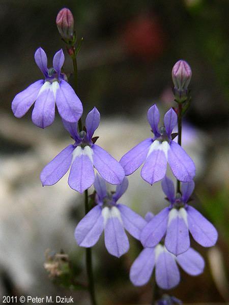 Lobelia kalmii Lobelia kalmii Kalm39s Lobelia Minnesota Wildflowers