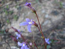 Lobelia rhombifolia httpsuploadwikimediaorgwikipediacommonsthu