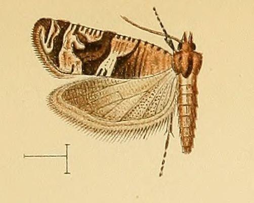 Lobesia neptunia