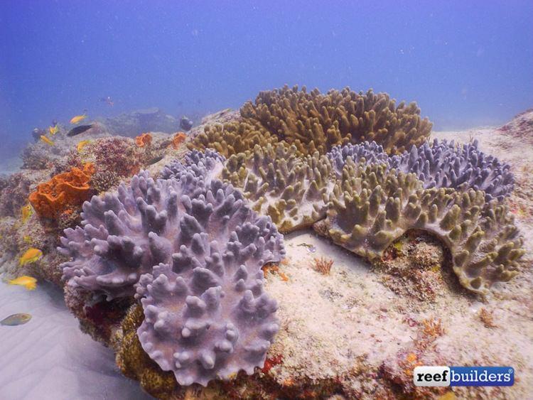 Lobophytum Get to know the leather corals Sarcophyton Lobophytum and