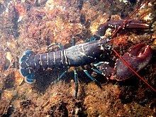 Lobster httpsuploadwikimediaorgwikipediacommonsthu