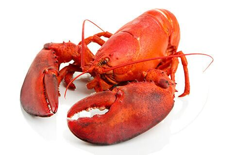 Lobster Live Maine Lobster for Sale Online Overnight Delivery Maine