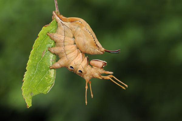 Lobster moth Malcolm Schuyl Wildlife Photography Caterpillar of The Lobster Moth