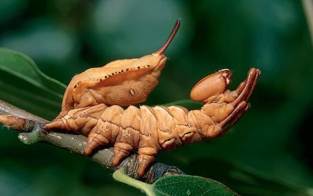 Lobster moth Lobster Moth Caterpillar Creepy Animals
