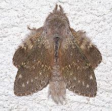 Lobster moth httpsuploadwikimediaorgwikipediacommonsthu