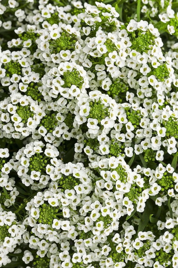 Lobularia (plant) White Knight Sweet Alyssum Lobularia hybrid Proven Winners