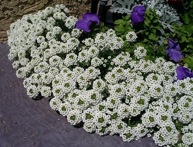 Lobularia (plant) Lobulariamaritimawhitejpg