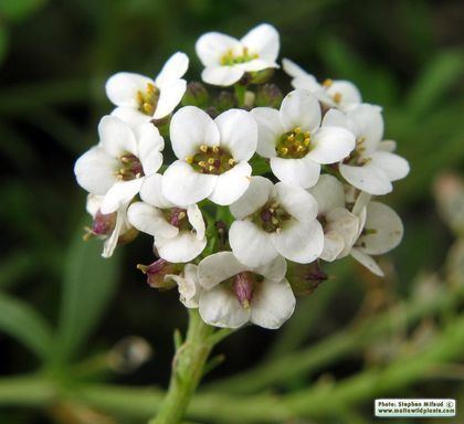 Lobularia (plant) Wild Plants of Malta Plant Family Index
