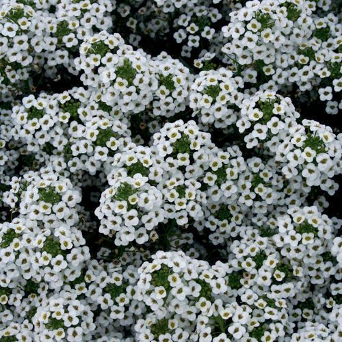 Lobularia (plant) httpswwwprovenwinnerscomsitesprovenwinners