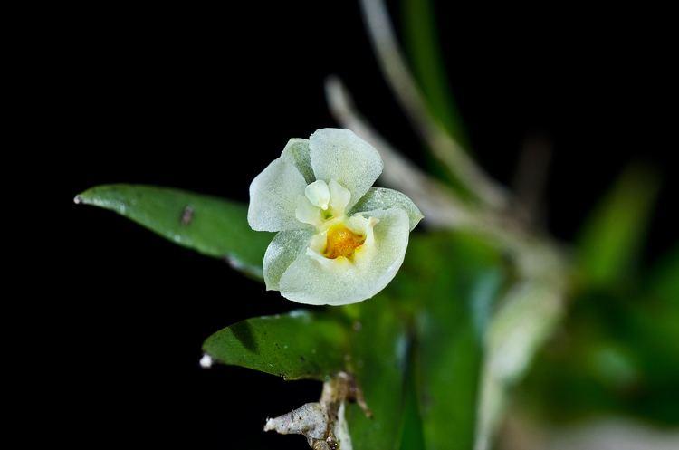Lockhartia Lockhartia hercodonta Miniature orchids