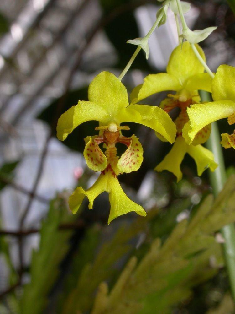 Lockhartia wwworchidspeciescomorphotdirlockhoerstediijpg
