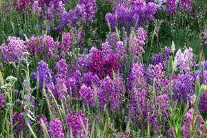 Locoweed Loco Weed Astragalus spp ASPCA