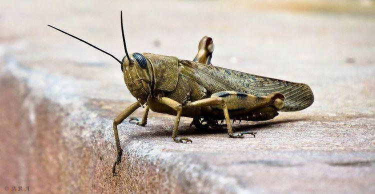 Locust Locusts Locust Pictures Locust Facts National Geographic