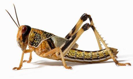 Locust Locusts Facts for Children