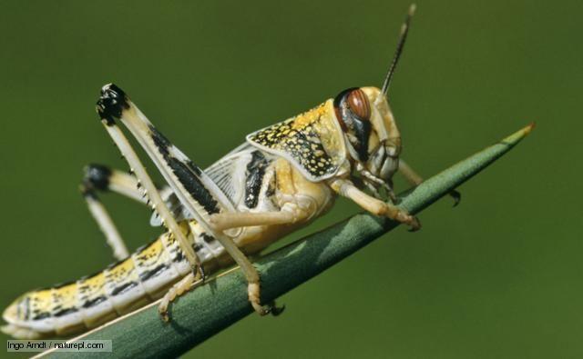 Locust BBC Nature Desert locust videos news and facts