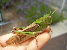 Locusta migratoria manilensis httpsuploadwikimediaorgwikipediacommonsthu