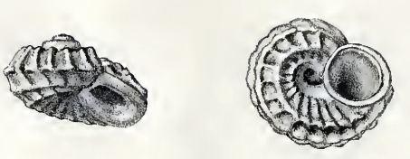 Lodderia coatsiana