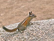 Lodgepole chipmunk httpsuploadwikimediaorgwikipediacommonsthu