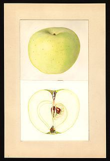 Lodi (apple) httpsuploadwikimediaorgwikipediacommonsthu