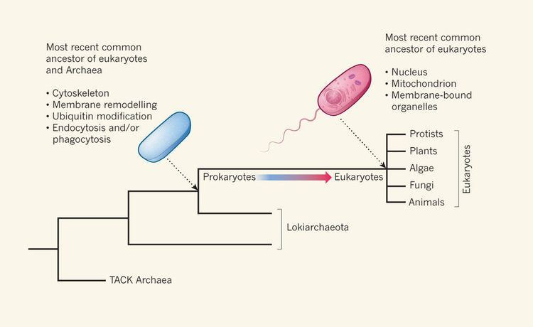 Lokiarchaeota Lokiarchaeota are the closest known prokaryotic relatives of