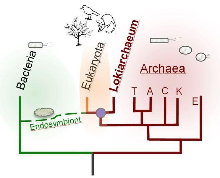 Lokiarchaeota A disputed origin for Eukaryotes News Astrobiology