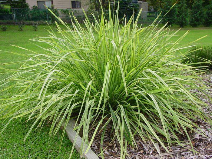 Lomandra Lomandra Longifolia Lime Jet Plant Palette Medley Pinterest