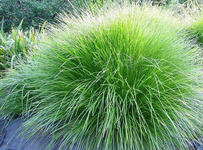 Lomandra confertifolia Tilga