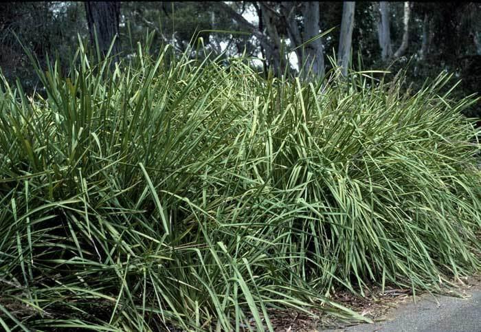 Lomandra Lomandra longifolia Growing Native Plants