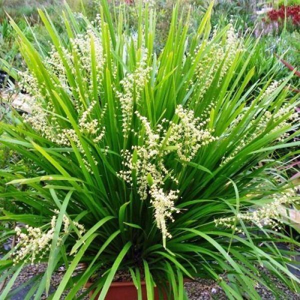 Lomandra Lomandra hystrix mat rush Australian Plants Online