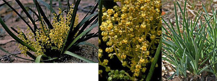 Lomandra filiformis Lomandra filiformis ssp coriacea