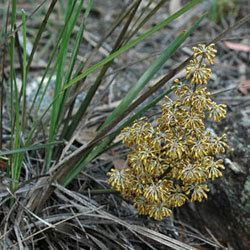 Lomandra filiformis Lomandra filiformis Growing Native Plants