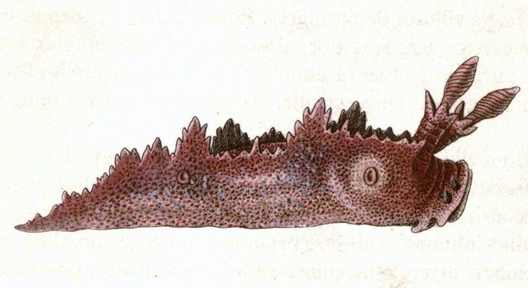 Lomanotus