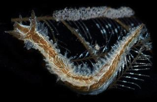 Lomanotus vermiformis