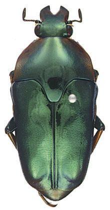 Lomaptera httpsuploadwikimediaorgwikipediacommonsthu